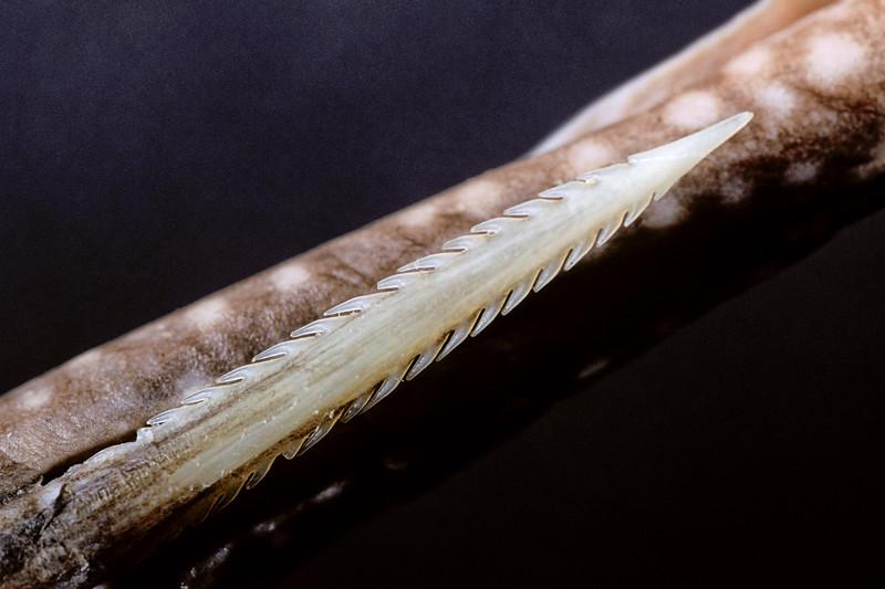 stinger of a round stingray, Urobatis halleri, showing the backward pointing barbs