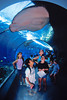 visitors to Maui Ocean Center obseve a broad stingray, Dasyatis lata, which is resting on the top of the huge acrylic tunnel, Hawaii ( Central Pacific Ocean )