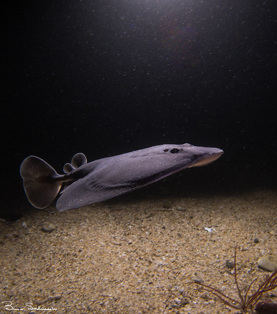 Torpedo california (pacific electric ray)