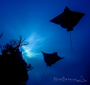 Spotted Eagle Rays - Cayman.