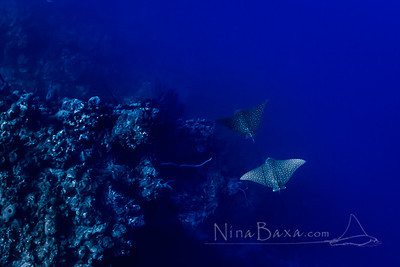 Eagle Rays Gliding by Reef Wall