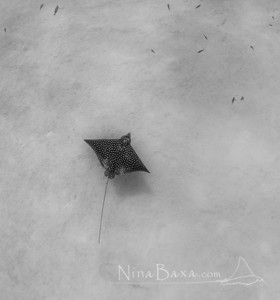 Spotted Eagle Ray over Caribbean Sands