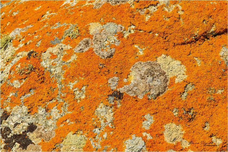 Orange sea lichen (GB), American firedot lichen (USA),