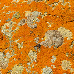 Orange sea lichen (GB), American firedot lichen (USA),