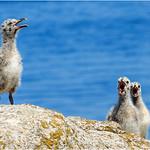 Babies Gull  -  Grisards  - Bébés Goéland