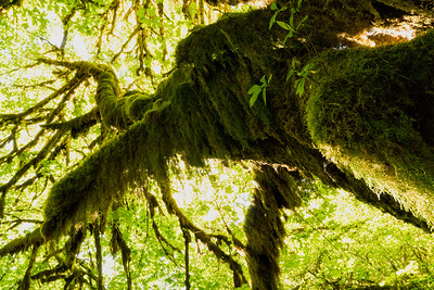 Forest Portrait: Queets Rainforest | Olympic National Park