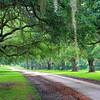 An oak-lined road leading to the Brewton Plantation near Yemassee.
