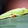 A green tree frog (not poisonous, I believe) chilling on a leaf.
