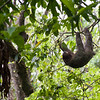 A sloth in it's natural habitat, doing what sloths do best... hang around in trees.  And sleep.