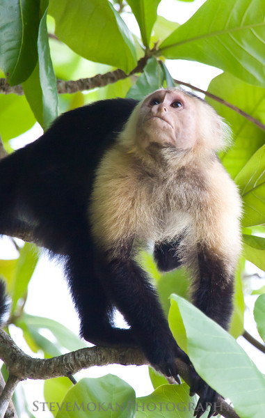 A white-faced monkey in Cahuita Nat'l Park.  These guys look cute, but they're evil.
