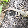 One of the many iguanas we saw around the beaches and jungle areas.