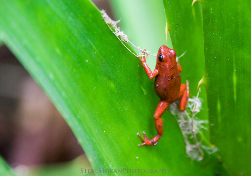 A cute little frog... except it's poisonous too.  This is a red Poison Dart Frog.