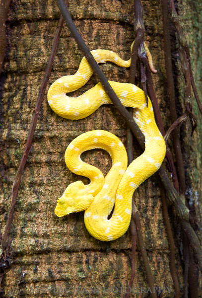 A yellow Pit Viper... yes, these are poisonous, and yes, this was in the wild.