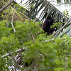 One of the many, many howler monkeys we saw during our stay.