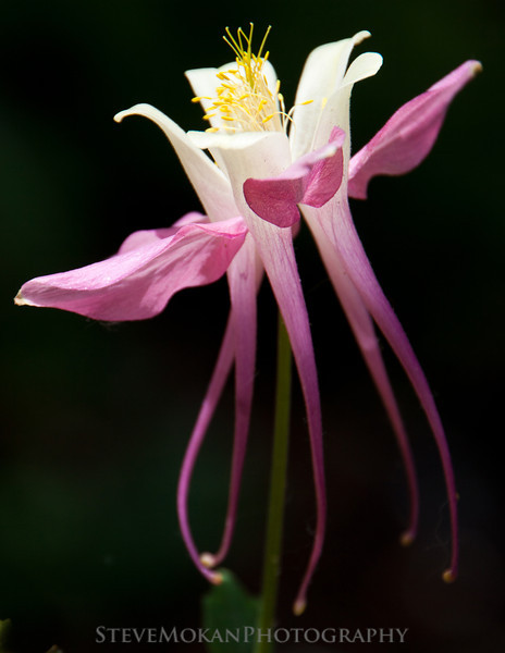 Pink columbine located in the base area of the ski resort.