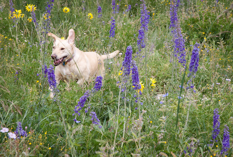 Talley enjoys running through the flowers chasing pikas and marmots.