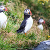 More puffins!