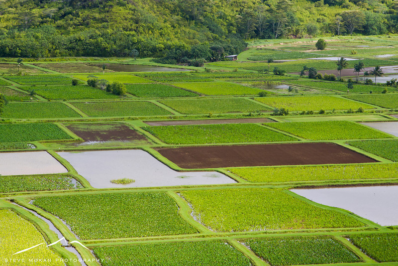 Up close and personal with the taro fields after a hard rain.