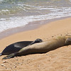 We saw two pairs of Hawaiian Monk Seals mothers and babies- this baby was around six weeks old and was close to being sent out on its own.