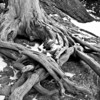 The root system of an old twisted bristlecone pine.