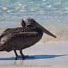 This frigate bird was just hanging out in front of us on Francis Bay beach.  These guys were fun to watch as they dive-bombed into the water catching fish every time.