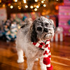 Oli at Christmas time! <br /> <br /> Photographer's Name: Sharnal Humes<br /> Photographer's City and State: Scottsburg, IN