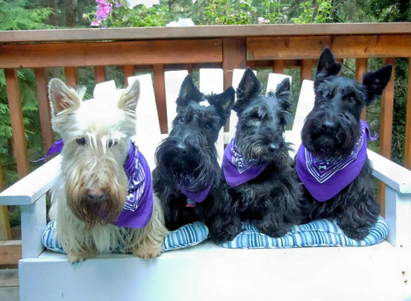 Our rescue Scotties Maxwell, Jock, Gidget & MacDuff<br /> <br /> Photographer's Name: Gayle Beteag<br /> Photographer's City and State: Gig Harbor, WA