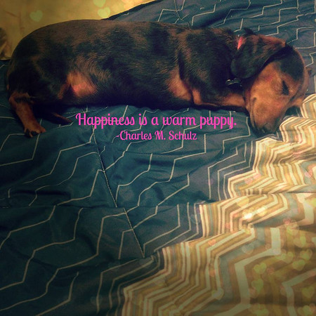 My rescued dachshund, Zoey!<br /> <br /> Photographer's Name: Amber Windell<br /> Photographer's City and State: Corydon, IN