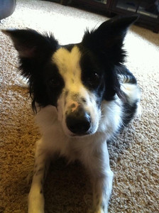 Hank, Boeder Collie, Age 2 years  Photographer's Name: Kelly Brooks Photographer's City and State: Sellersburg, IN