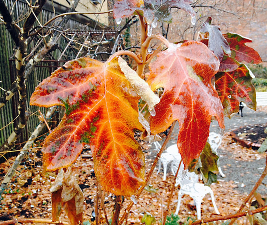 Frozen leave in Jeffersonville on Friday, Dec. 6, 2013<br /> <br /> Photographer's Name: Bill Hanson<br /> Photographer's City and State: Sellersburg, IN