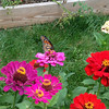 Butterflies and bees enjoy our zinnias.<br /> <br /> Photographer's Name: Roberta Hite<br /> Photographer's City and State: Kokomo, IN