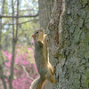Three Legged Squirrel in Highland Park, Kokomo, IN.  <br /> <br /> Photographer's Name: Jeff Egloff<br /> Photographer's City and State: Kokomo, IN