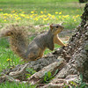 Three Legged Squirrel in Highland Park, Kokomo, IN.  <br /> <br /> Photographer's Name: Jeff Egloff<br /> Photographer's City and State: Kokomo, IN