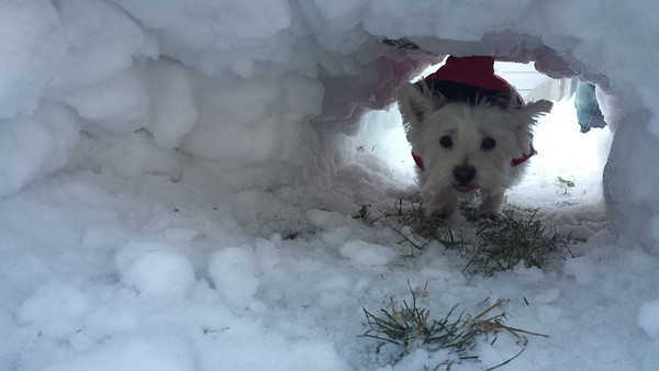 Dog Daze of Winter. Chloe passes through her tunnel to get to the yard.<br /> <br /> Photographer's Name: Tedd Schroeder<br /> Photographer's City and State: KOKOMO, IN