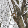 Albert the squirrel enjoys his treetop view of the snow.<br /> <br /> Photographer's Name: Alice Guest-McKellar<br /> Photographer's City and State: Kokomo, IN