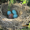 New baby robin, three more eggs to go!<br /> <br /> Photographer's Name: Roger & Lilah Gilliland<br /> Photographer's City and State: kokomo, IN