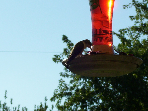 Hummingbird having a snack, picture taken by Roger Gilliland<br /> <br /> Photographer's Name: Lilah  Gilliland<br /> Photographer's City and State: kokomo, IN