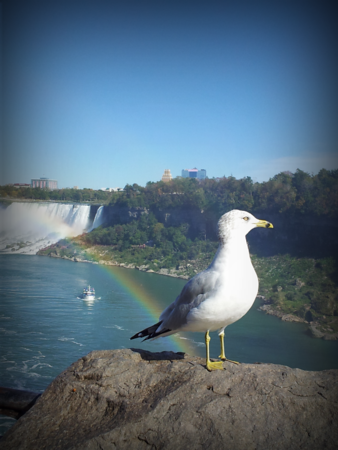 Seagull posing at Niagra Falls<br /> <br /> Photographer's Name: Maddalena Hedrick<br /> Photographer's City and State: Kokomo, IN