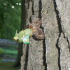 An emerging cicada in Highland Park. PHoto submiteed by Emily