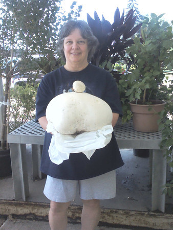 """Huge mushroom found in back yard on Sycamore St. 12"""" long, 10"""" wide, 9"""" high<br /> <br /> Photographer's Name: Sherry Schulte<br /> Photographer's City and State: Kokomo, IN"""