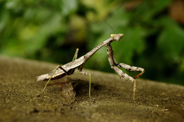 A praying mantis. Photo submitted by Ashley McBride