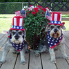 #contest  Lucky and Chance Fourth of July<br /> <br /> Photographer's Name: Kelly Cook<br /> Photographer's City and State: Greentown, IN