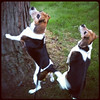 """#contest """"Jake & Lucy Blue"""" (tri-colored beagles, brother & sister, 8 years old)<br /> <br /> Photographer's Name: Penny Frazier<br /> Photographer's City and State: Kokomo, IN"""