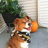 "Scoobies says ""Boiler UP""<br /> <br /> Photographer's Name: Tracy Matus<br /> Photographer's City and State: Crown Point, IN"