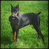 My beautiful, sweet, fun, playful & loving Doberman Pinscher, AMMO! <br /> <br /> Photographer's Name: Amy  Roberts<br /> Photographer's City and State: Kokomo, IN