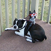Ziggie is a 7 year old Boston Terrior who loves laying outside with his little look-a-like. Cover Dog #contest<br /> <br /> Photographer's Name: Sharon Zech<br /> Photographer's City and State: Logansport, IN