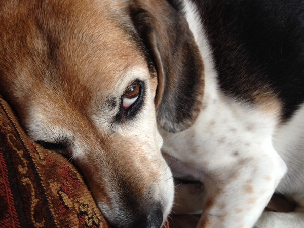 """#contest """"Lucy Blue"""" (tri-colored beagle)<br /> <br /> Photographer's Name: Penny Frazier<br /> Photographer's City and State: Kokomo, IN"""