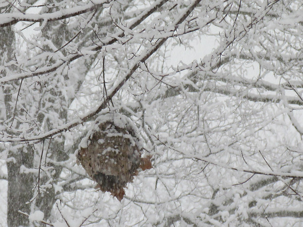 Snowy hornet's nest<br /> <br /> Photographer's Name: Sally McAndrews<br /> Photographer's City and State: Logansport, IN