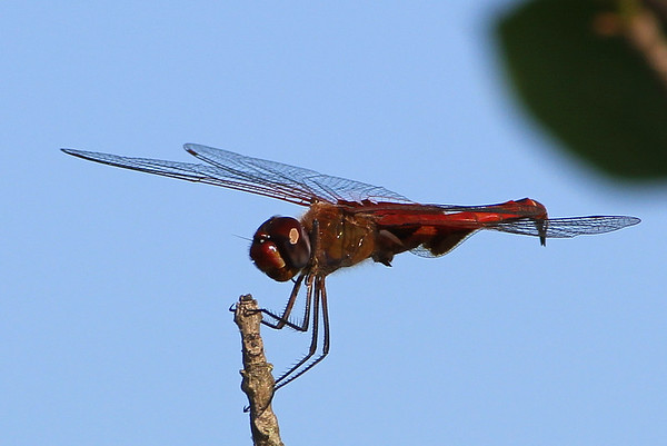 Red Saddlebags,  France Park<br /> <br /> Photographer's Name: Bud Dodrill<br /> Photographer's City and State: Logansport, IN