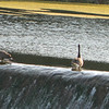 Logan's ducks cool off their feet on low flowing Ten Street Dam on a hot 103 degree day!<br /> <br /> Photographer's Name: Robert Zimmerman<br /> Photographer's City and State: Logansport, IN